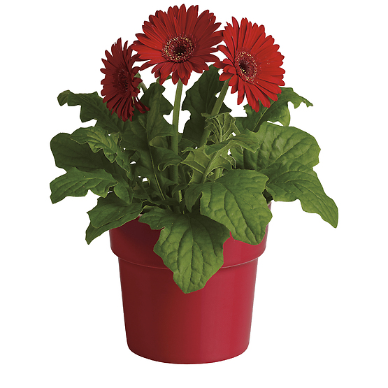 Rainbow Rays Potted Gerbera - Red